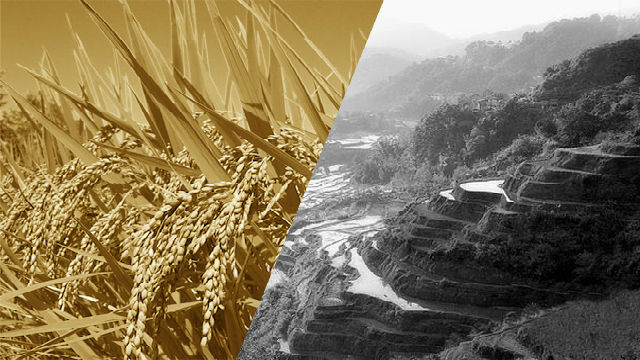 Abandoned Banaue rice terraces to undergo rehabilitation