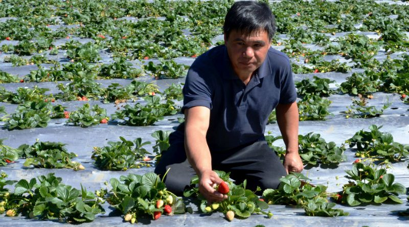 Baguio offers strawberry picking destination
